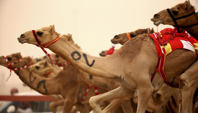 Marathon on the way: Camel Marathon.